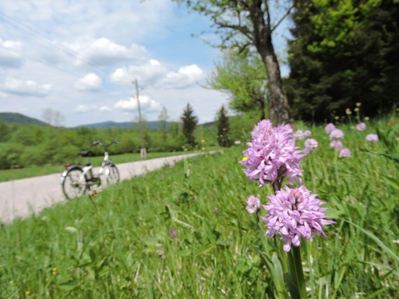 Divje orhideje v Mišji dolini