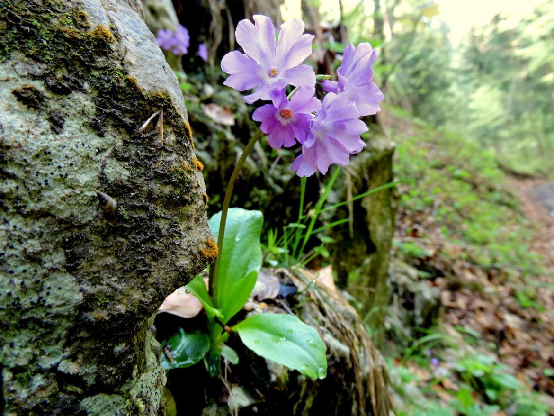 Endemit kranjski jeglič Primula carniolica